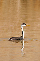 A Western Grebe floats in the sun after a morning of fishing.