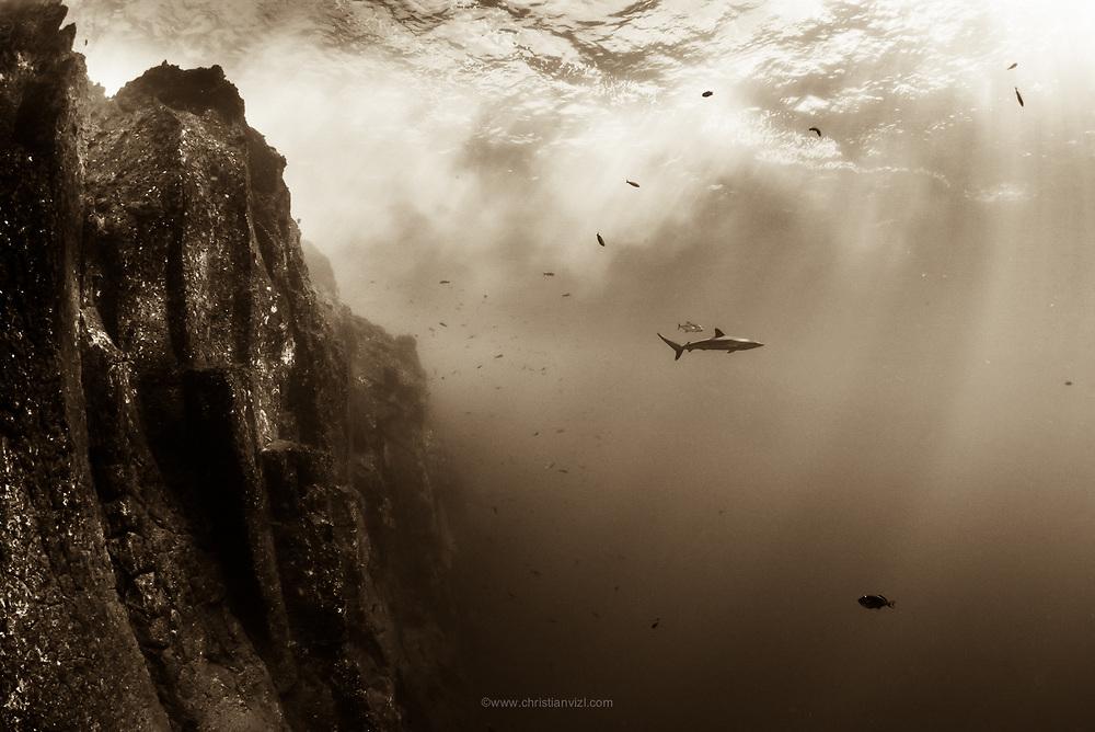 México, Revillagigedo Islands, Roca Partida. A silkie shark (Carcharhinus falciformis) swimming around the surface near the rocky wall.