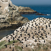 Cormorants Roosting at Point Lobos, California