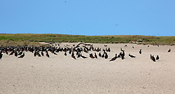 A flock of Brown Boobies (Sula leucogaster) on the beach at Adele Island, on the Kimberley coast.