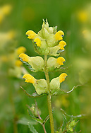 Yellow-rattle - Rhinanthus minor