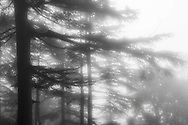 India Dharamsala Trees in Fog Black and White