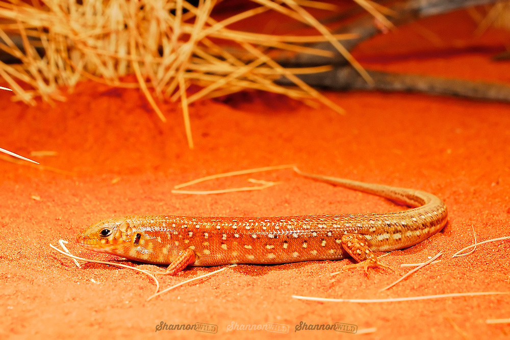 Desert Skink (Egernia inornata) at the Alice Springs Desert Park, Northern Territory, Australia