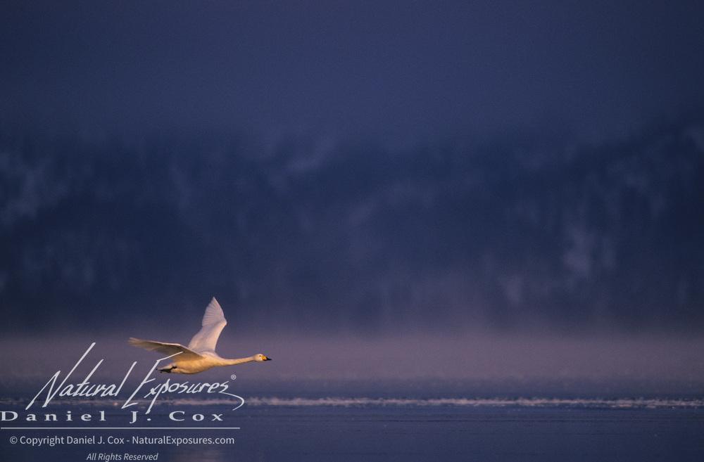 Whooper Swan (Cygnus cygnus) in flight. Lake Kussharo, Japan