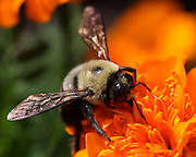 Image of a bumblebee