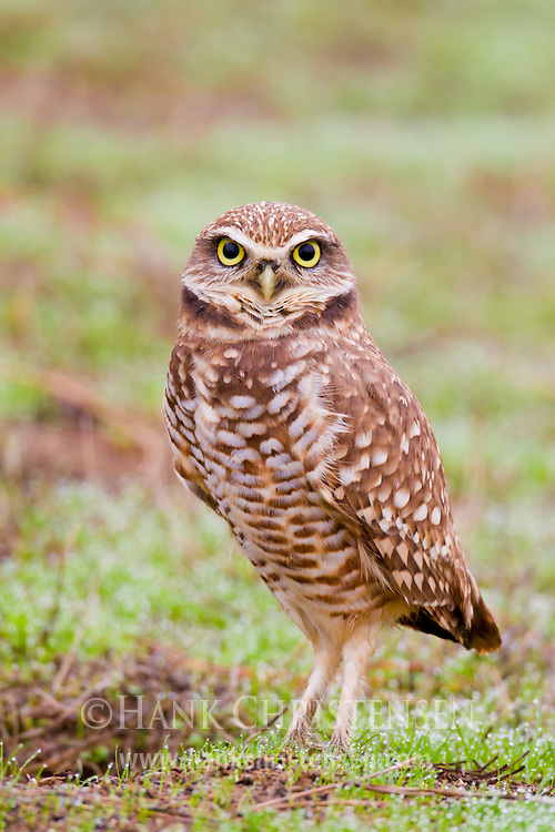 A borrowing owl stands next to its burrow