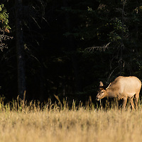 calf elk emerging from dark forest into meadow