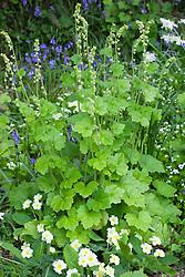 Tellima grandiflora and primroses in the woodland garden at Glebe Cottage. Primula vulgaris