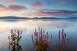"""Tahoe Lupine at Sunrise 5"" - These partially submerged lupine wildflowers were photographed at sunrise at Lake Forest Beach, Lake Tahoe."