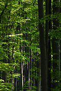 Forest of tall beech trees at springtime