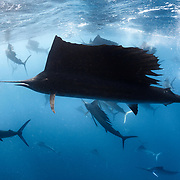 Indo-Pacific sailfish (Istiophorus platypterus) in a feeding frenzy, with the remains of a previously large school of sardines visible in the center background