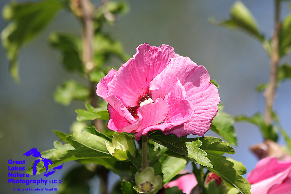 Pink hollyhock flower.
