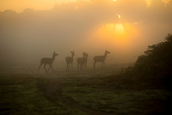 © Licensed to London News Pictures. 26/09/2015. City, UK. Deer at sunrise on a misty cold Autumn Morning in Richmond Park, London. Photo credit : Ian Schofield/LNP