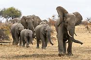 Elefantenfamilie (Loxodonta africana) auf dem Weg zum Wasserloch, Schutzgebiet Tuli Block, Botswana<br /> <br /> Breeding herd of African bush elephant (Loxodonta africana) on the way to the waterhole, private game reserve Tuli Block, Botswana