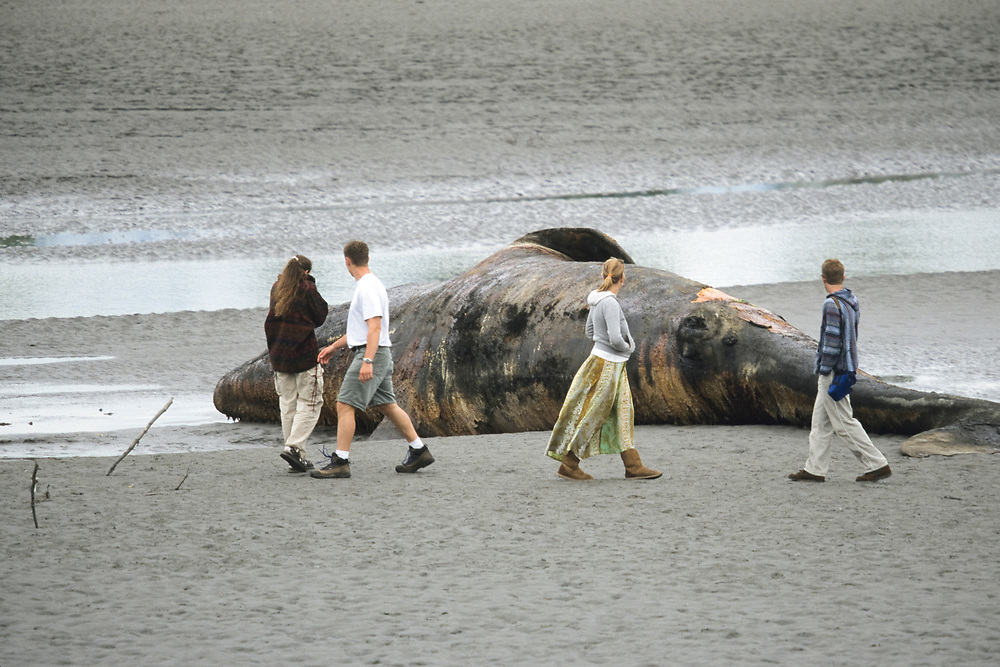 Alaska, Cook Inlet, Turnagian Arm. Beached Whale near Portage at the end of Turnagain Arm.