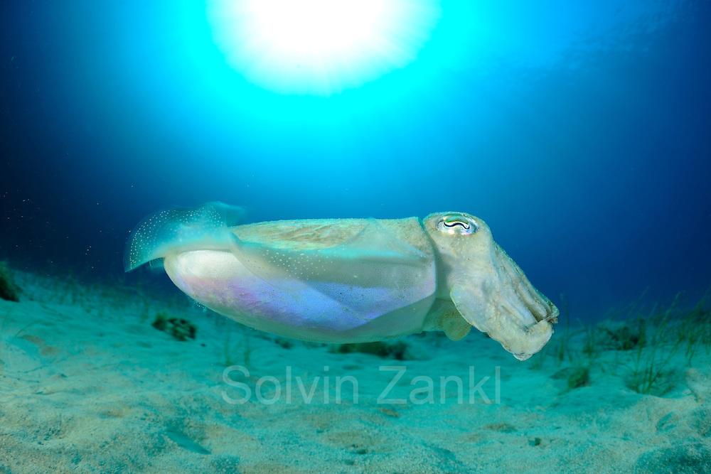 Common Cuttlefish (Sepia officinalis) [size of single organism: 25 cm] (Sepiida)   Sepia oder Gemeiner Tintenfisch