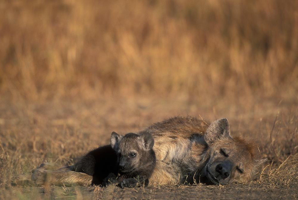 Africa, Kenya, Masai Mara Game Reserve, Spotted Hyena pup by adult female (Crocuta crocuta) near den on savanna