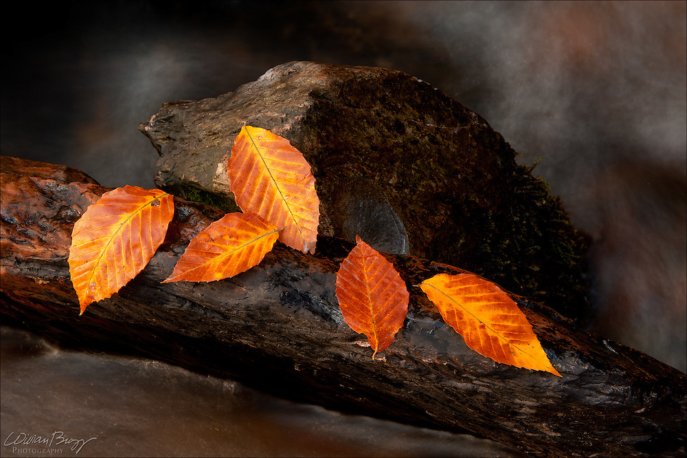 Beech Leaves (Over Troubled Waters)