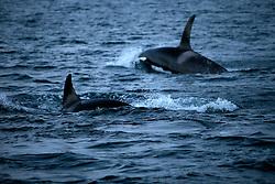 NORWAY TROMSO 5DEC15 - A pod of Orca whales swim in Kvaloya Sound near the arctic city of Tromso.<br /> <br /> jre/Photo by Jiri Rezac / Greenpeace<br /> <br /> &copy; Jiri Rezac 2015