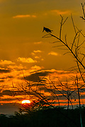 Giant Kingfisher (Megaceryle maxima) Silhouetted at sunset Lake Manyara, Tanzania, East Africa.