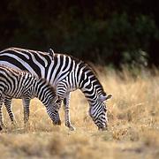 Burchell's Zebra, (Equus burchelli) Mother and baby grazing. Masai Mara Game Reserve. Kenya. Africa.