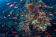 Anthias-Barbier commun (Anthias anthias) of Red Sea, Egypt.