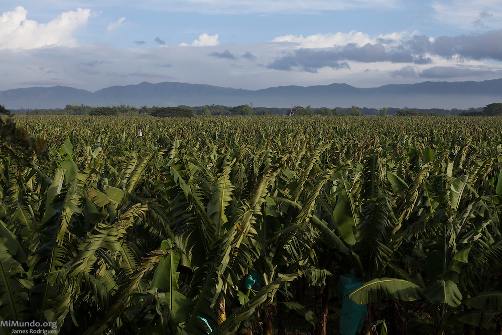 Panorama of a banana field at the GUIDOM plantation. GUIDOM is a single-owner banana plantation in northern Dominican Republic that exports bananas certified by the Fairtrade Labelling Organization (FLO). It employs 450 workers from which only 32 are Haitian. As of December 2014, GUIDOM exports 35% of its total production via FLO to Switzerland and England. Once GUIDOM finishes processing its organic certification, it hopes to export 100% of its production as organic bananas via FLO. Hato Nuevo, Mao, Valverde, Dominican Republic. December 5, 2014.