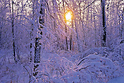 sunset on snow covered trees in St. Vital Park<br /> Winnipeg<br /> Manitoba<br /> Canada