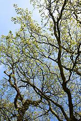 Oak tree coming into leaf. Quercus robur