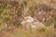 Mountain hare resting amongst heather near to the Farr Road that leads into Strahdearn.