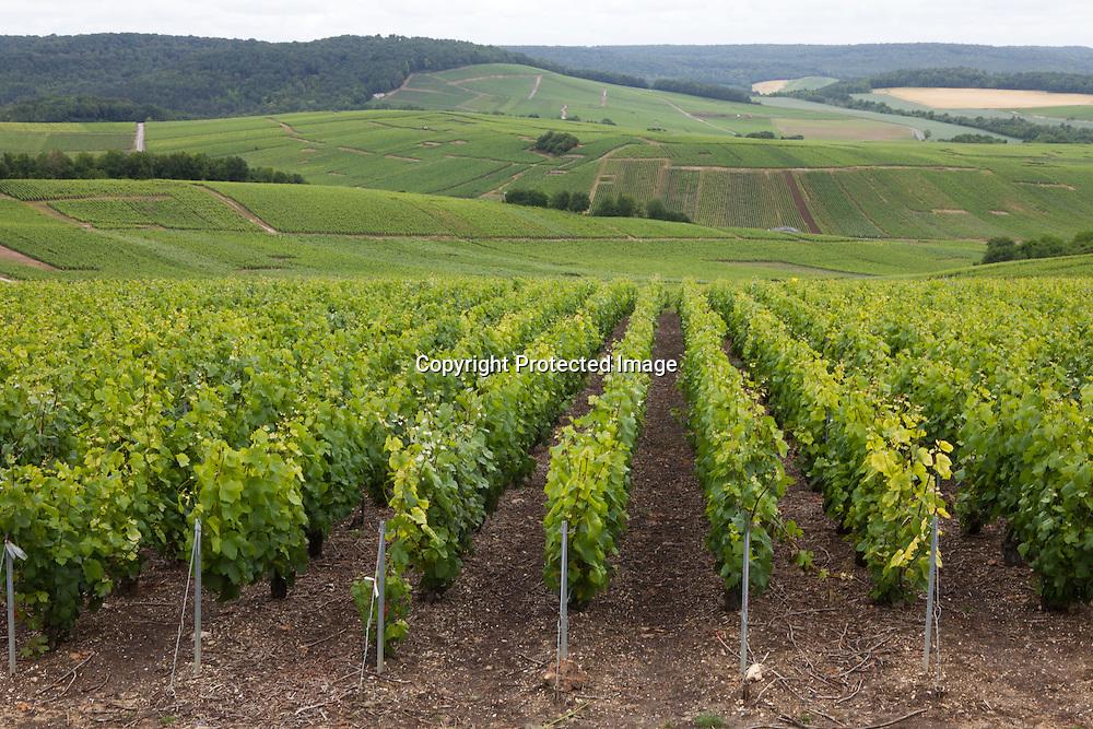 vineyard in champagne, France