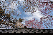The many species of trees in Hirosaki Park rise over the roof of a small gazebo