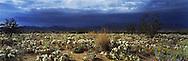 Desert Primrose, near Twentynine Palms, CA. 1994