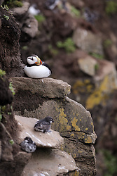 USA ALASKA  ST GEORGE ISLAND 7JUL12 - A Horned Puffin (Fratercula corniculata) breeds on a cliff on the island of St. George in the Bering Sea, Alaska...The Pribilof islands are a protected breeding ground for the fur seals and a prime birdwatching attraction.....Photo by Jiri Rezac / Greenpeace....�© Jiri Rezac / Greenpeace
