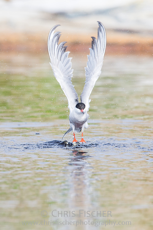 A Common Tern (Sterna hirundo) takes flight from a pond on Seal Island National Wildlife Refuge, Maine.