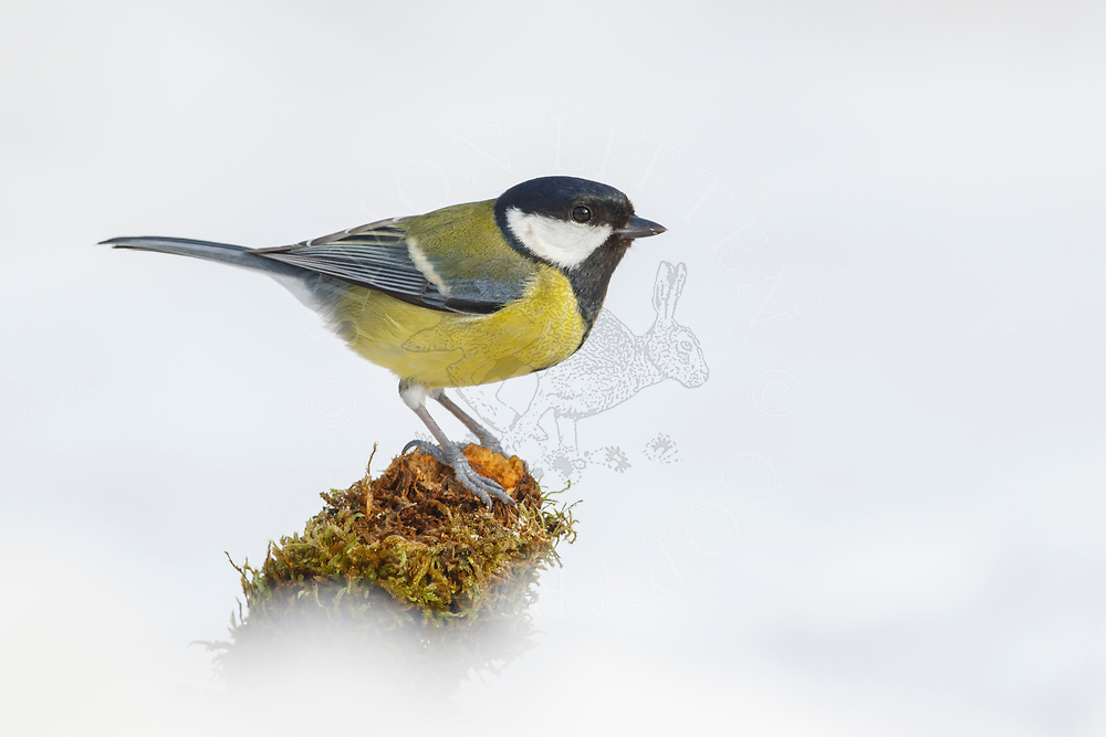 Great Tit (Parus major) adult, standing on fallen branch in snow covered ground, South Norfolk, UK, March