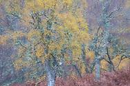 Section of autumn birch woodland, Glen Cannich, Scotland.
