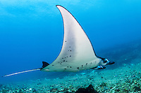A Manta glides effortlessly in the current<br /> <br /> Shot in Indonesia