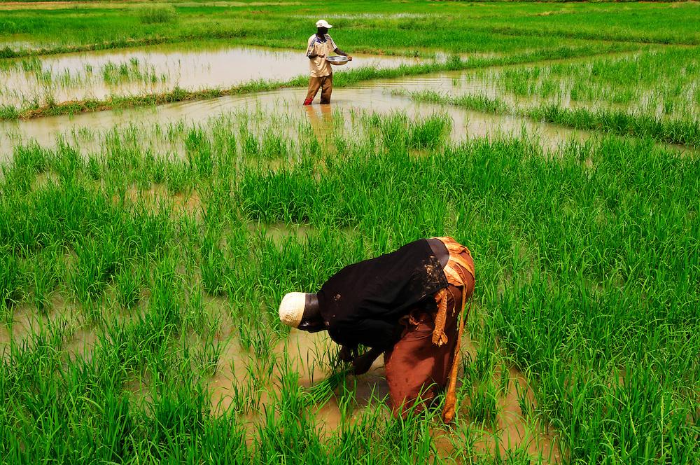 Moussa Dianor, un ancien migrant en France, travail dans sa rizière avec ses fils. Un projet d'irrigation permet la culture du riz dans cette région du Sahel..Orkadiéré, Sénégal. 05/09/2010..Photo © J.B. Russell
