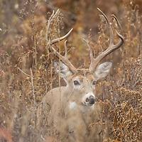 whitetail deer in grass habitat