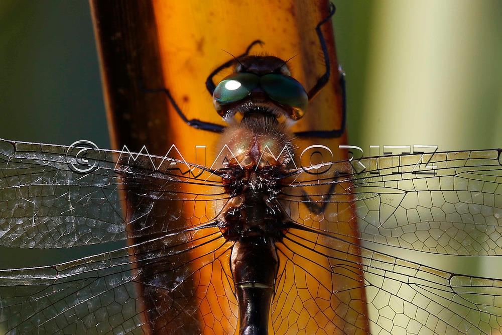 Dragonfly on a flax leaf