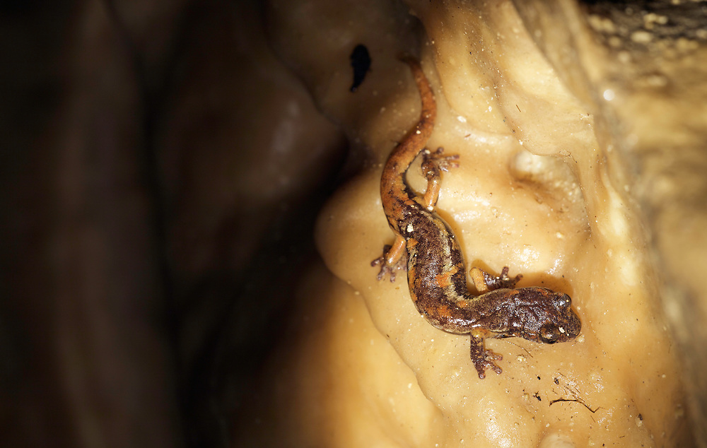 Italian cave salamander (Speleomantes italicus), San Marino.
