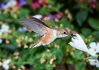 Female Rufous Hummingbird (Selasphorus rufus) in flight feeding on a Hosta flower
