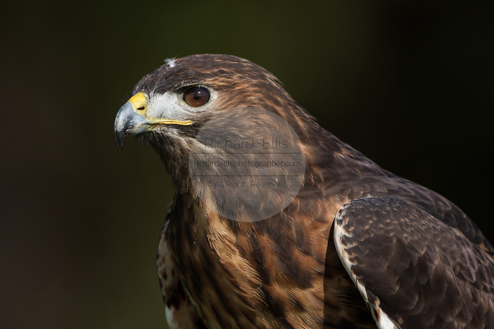 Red tailed hawk at the Center for Birds of Prey November 15, 2015 in Awendaw, SC.