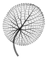 X-ray image of an Amazon waterlily leaf (Victoria amazonica, black on white) by Jim Wehtje, specialist in x-ray art and design images.
