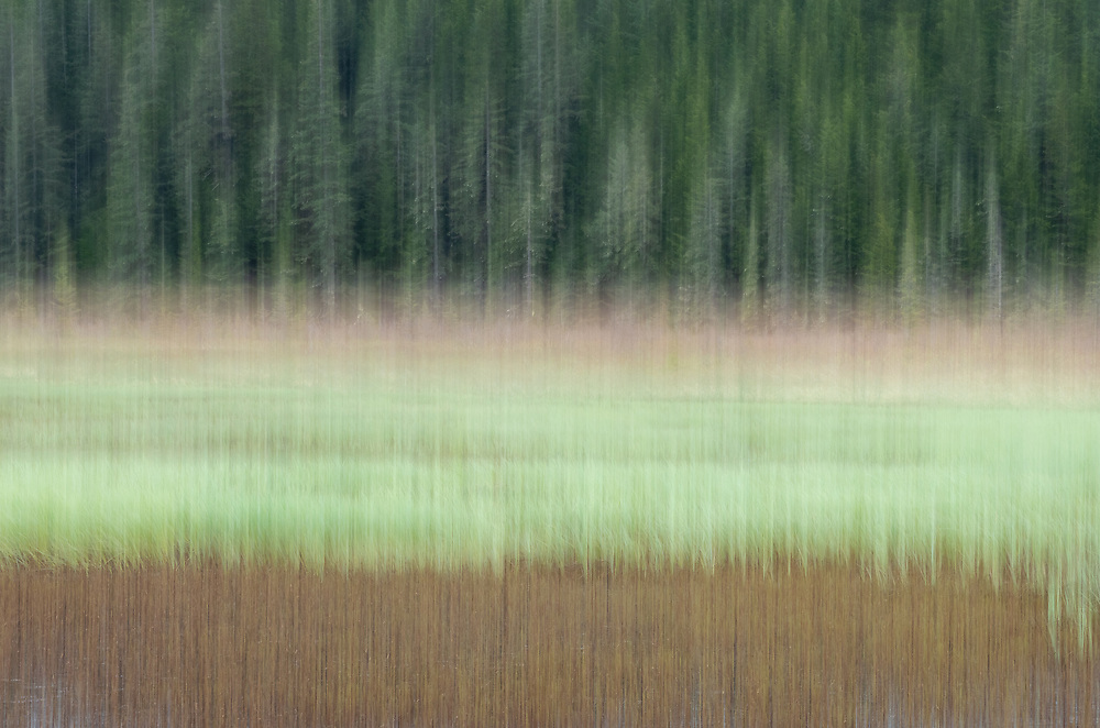 In-camera motion blur of spruce trees along marsh in Copper River Delta in Southcentral Alaska. Spring. Morning.