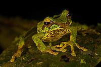 Tree frog (Litoria arfakiana).<br />In the Foja Mts near Bog Camp.  1650 m.