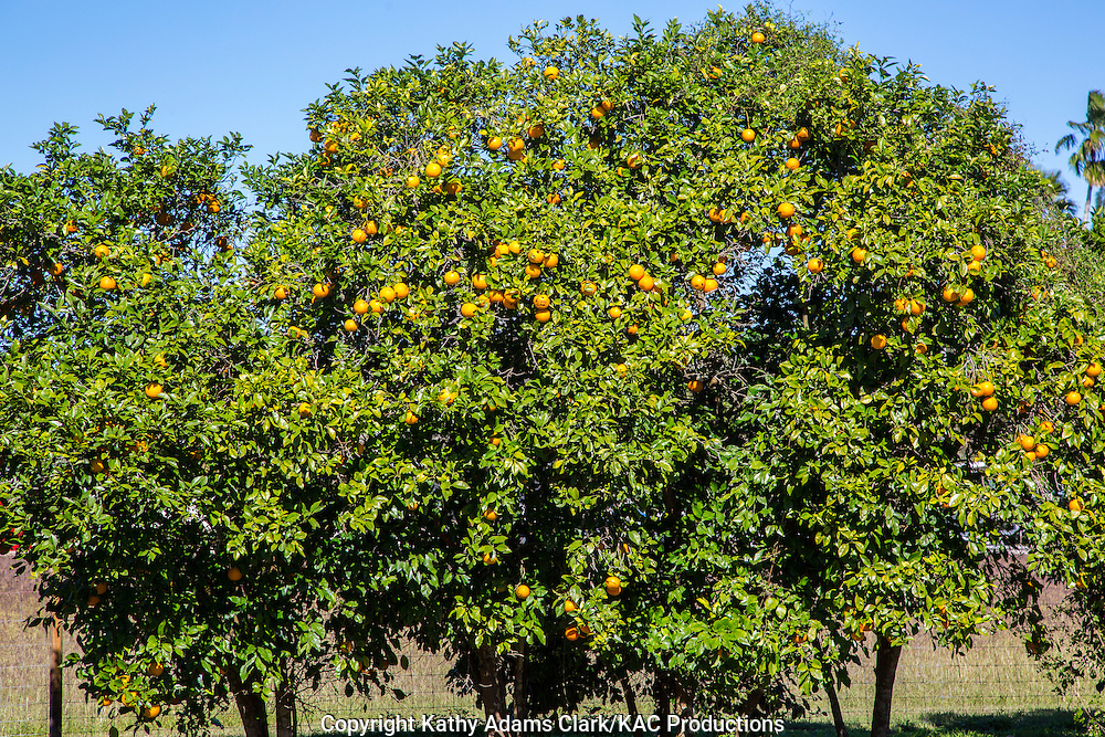 Citrus is an important crop in south Texas.
