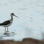 The black-winged stilt, common stilt, or pied stilt (Himantopus himantopus) is a widely distributed very long-legged wader in the avocet and stilt family (Recurvirostridae).