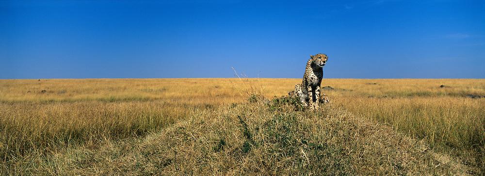 Africa, Kenya, Masai Mara Game Reserve, Adult Female Cheetah (Acinonyx jubatas) surveys savanna from termite mound